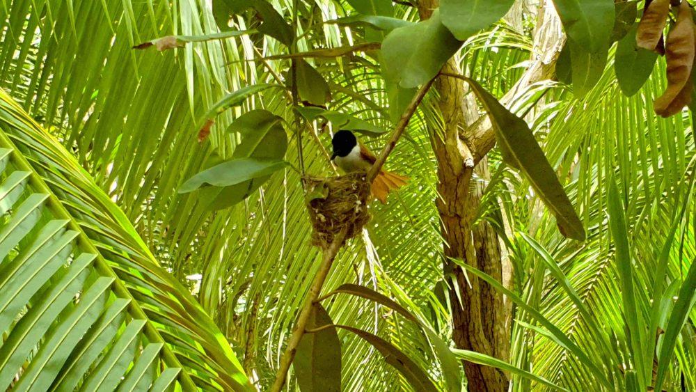 Paradiesvogel Seychellen