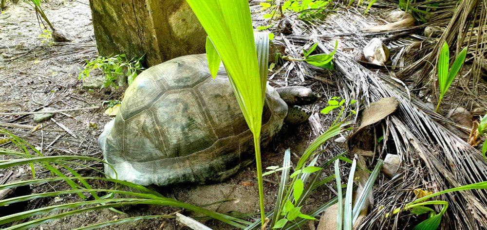Schildkröte Grand Barbe